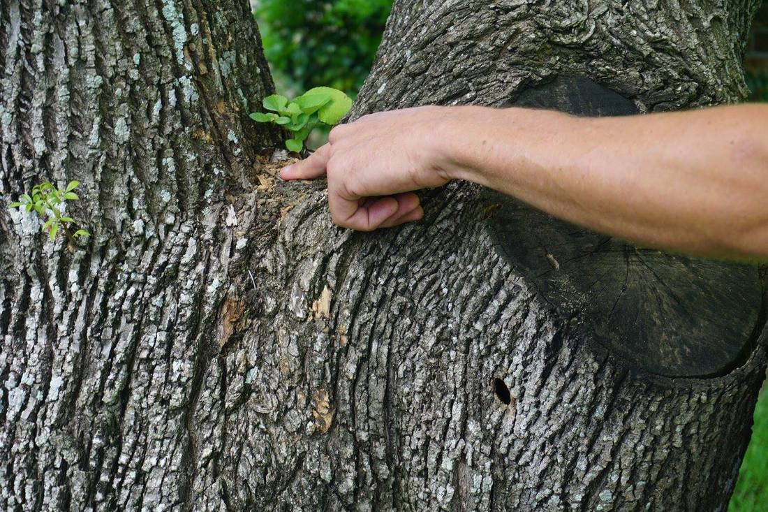 tree-seargon